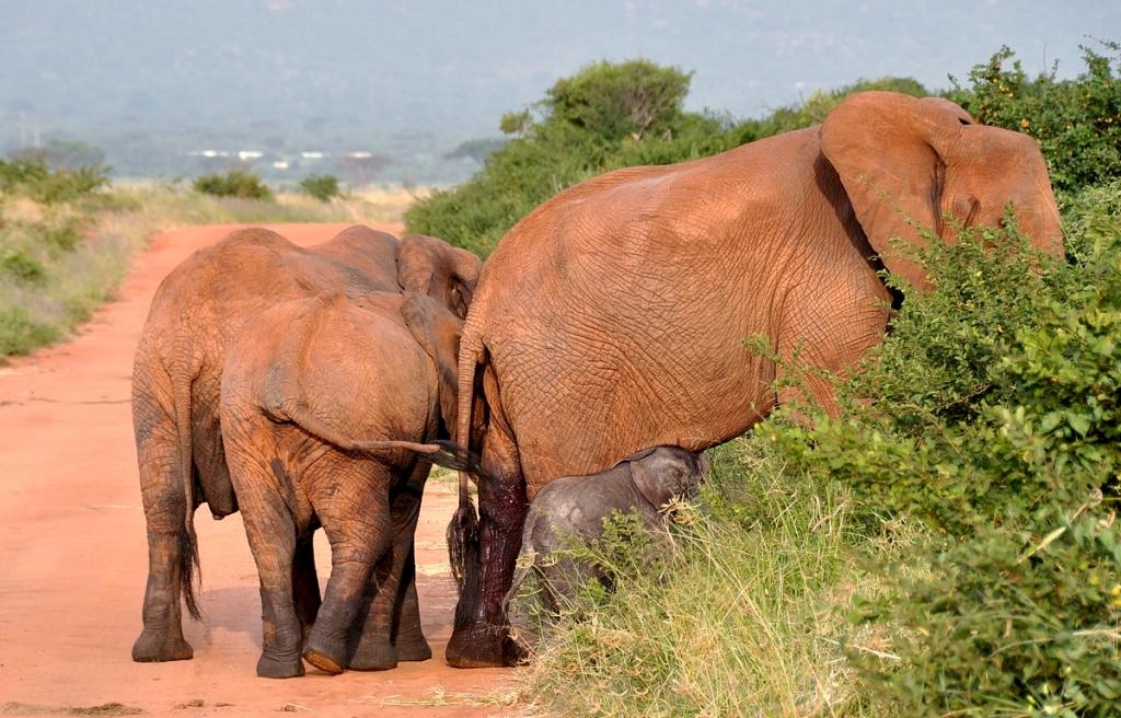 Tämä norsunpoikainen ei ole montaa tuntia vanha. Emo vielä verinen synnytyksen jäljiltä.