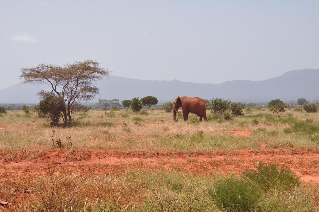 Afrikannorsun etuna ei ole maastoutumiskyky.