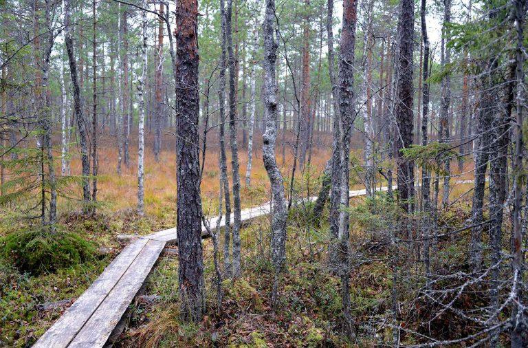 Metsäpolut tarjosivat upeita maisemia avosuon lähistöllä.