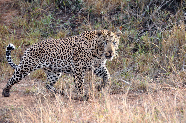 Elämäni leopardit