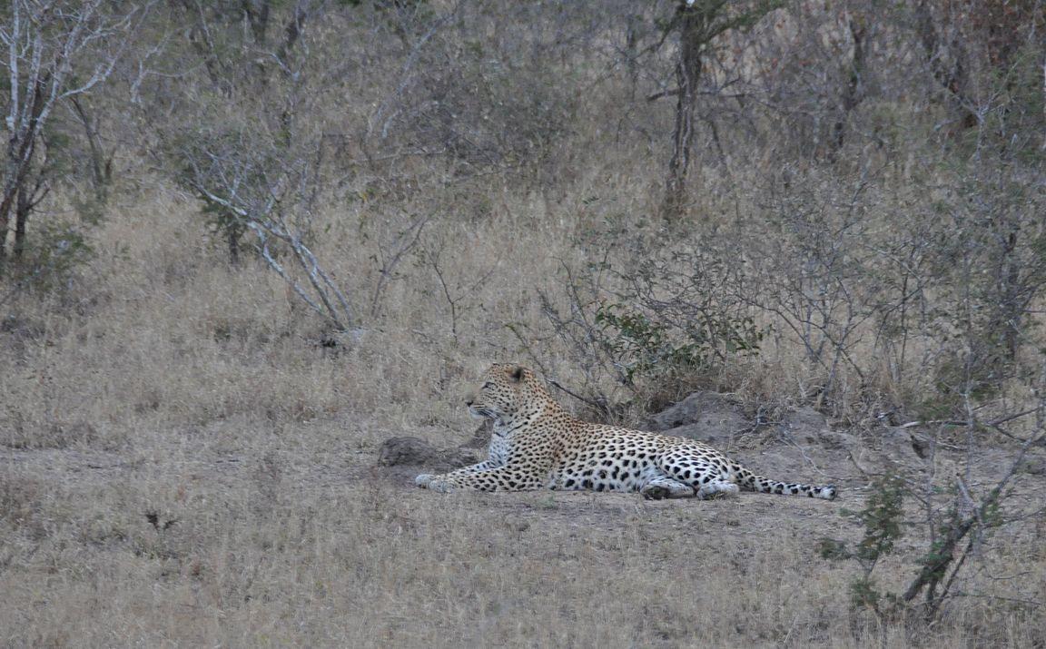 Tiine leopardi lepohetkessään.