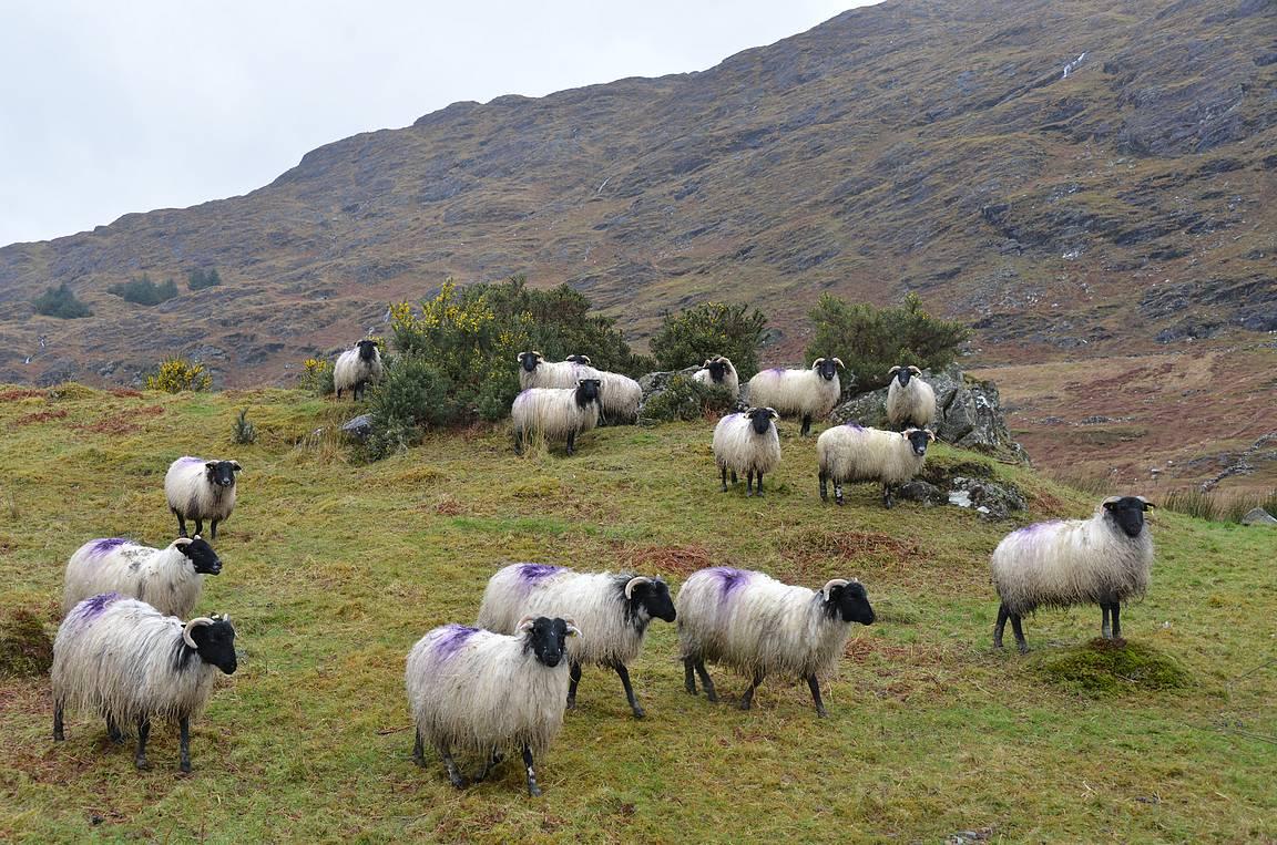 Lampaat saavat laiduntaa upeissa maisemissa.