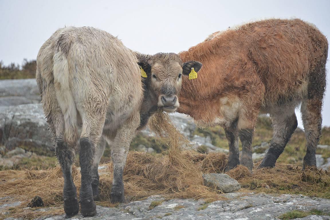 Laiduntavat lehmät ja lampaat ovat tuttu näky Irlannissa.