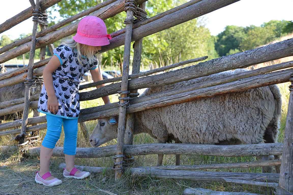 Ahvenanmaalla lampaisiin törmää jatkuvasti.