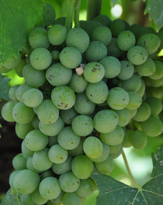 Toscana ilman viinirypäleitä on kuin Suomi ilman saunoja.