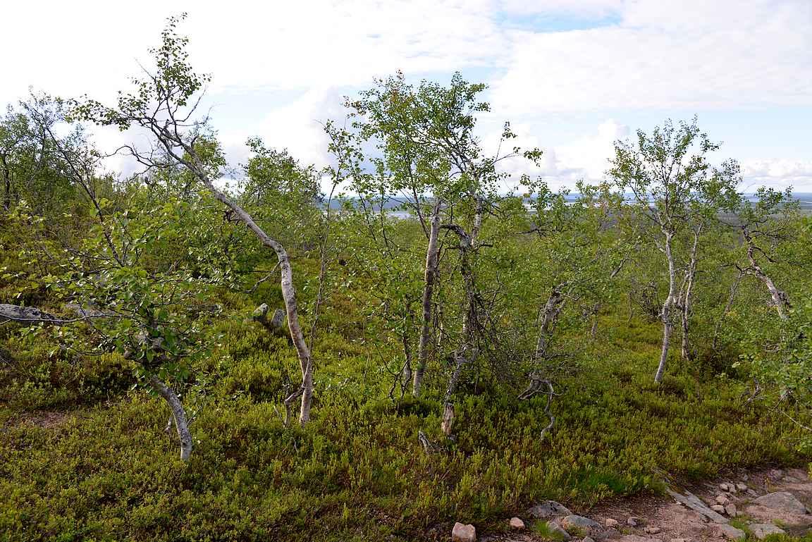 Viimeinen kasvillisuus ennen huippua koostuu lähinnä vaivaiskoivuista.
