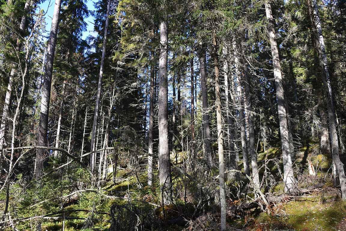 Helvetinjärven kansallispuiston metsämaisemaa.