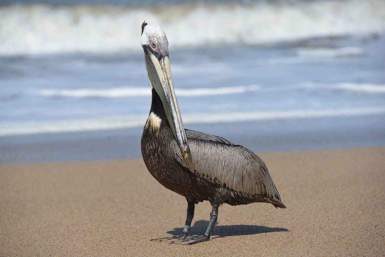 Puerto Vallartan pelikaanit