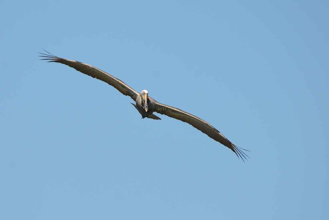 Pelikaanien siipien kärkiväli voi olla yli kaksi metriä.