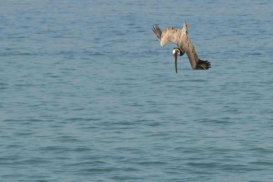 4. Nokka kohti vaaraa aavistamatonta kalaa...
