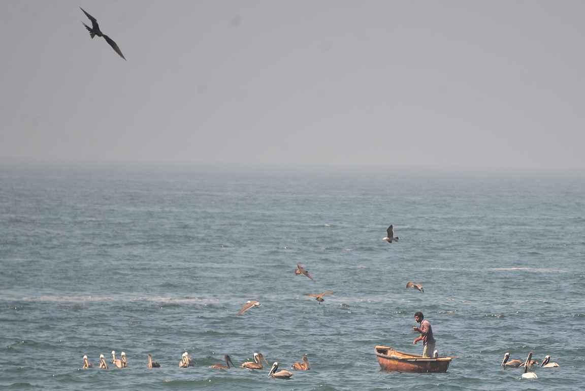 Paikalliset kalastajat saavat usein seurakseen pelikaaneja.