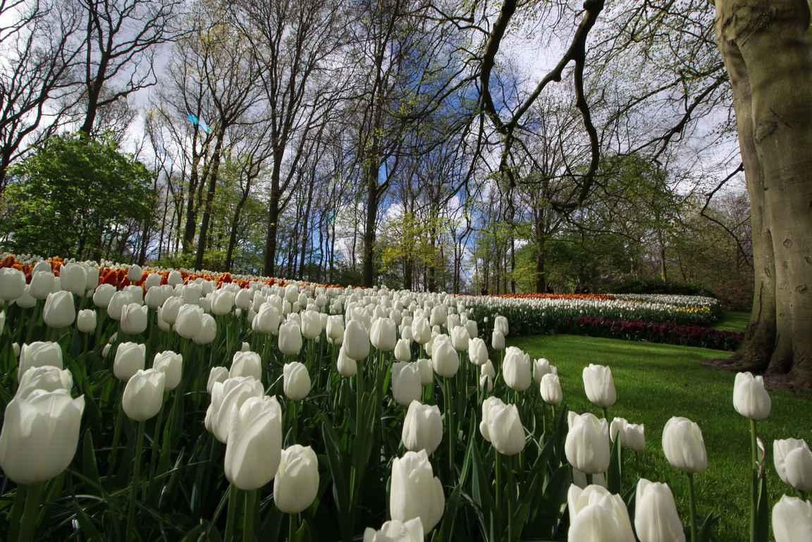 Tulppaanit ovat tunnetuin laji Keukenhofin seitsemästä miljoonasta kukasta.