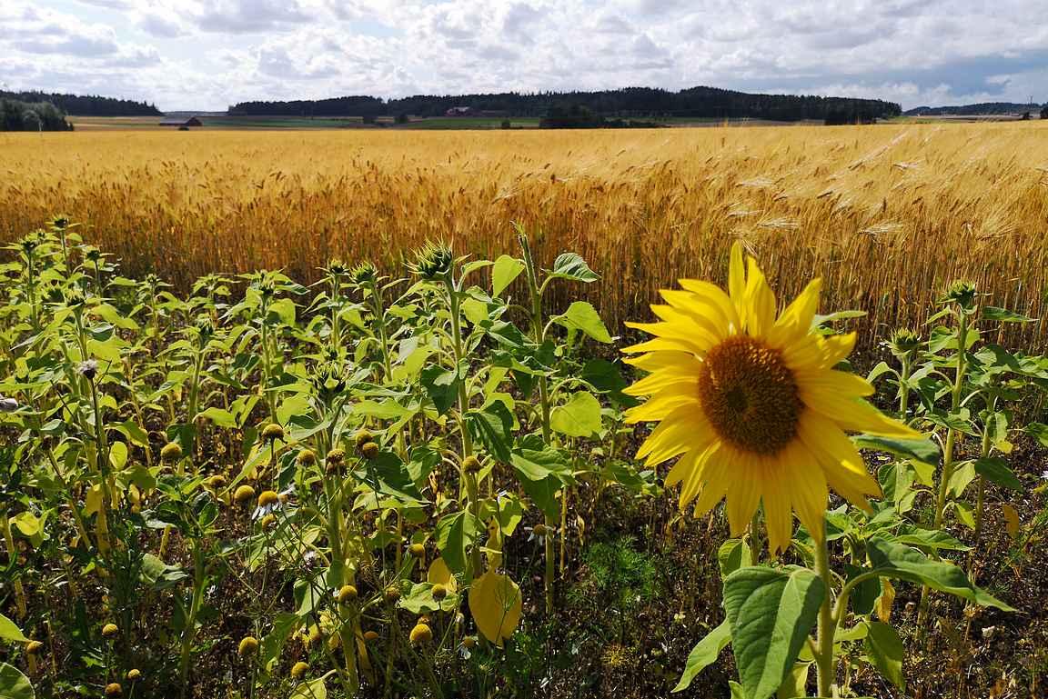 Elonkierrossa on esiteltynä niin auringonkukat kuin mallasohrat.