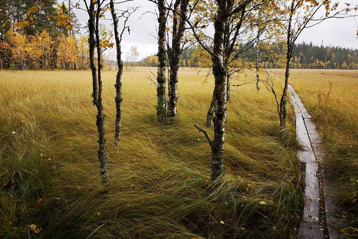 Suoalueiden pitkospuuosuuksien välissä oli tasaisin väliajoin pieniä metsäsaarekkeita.