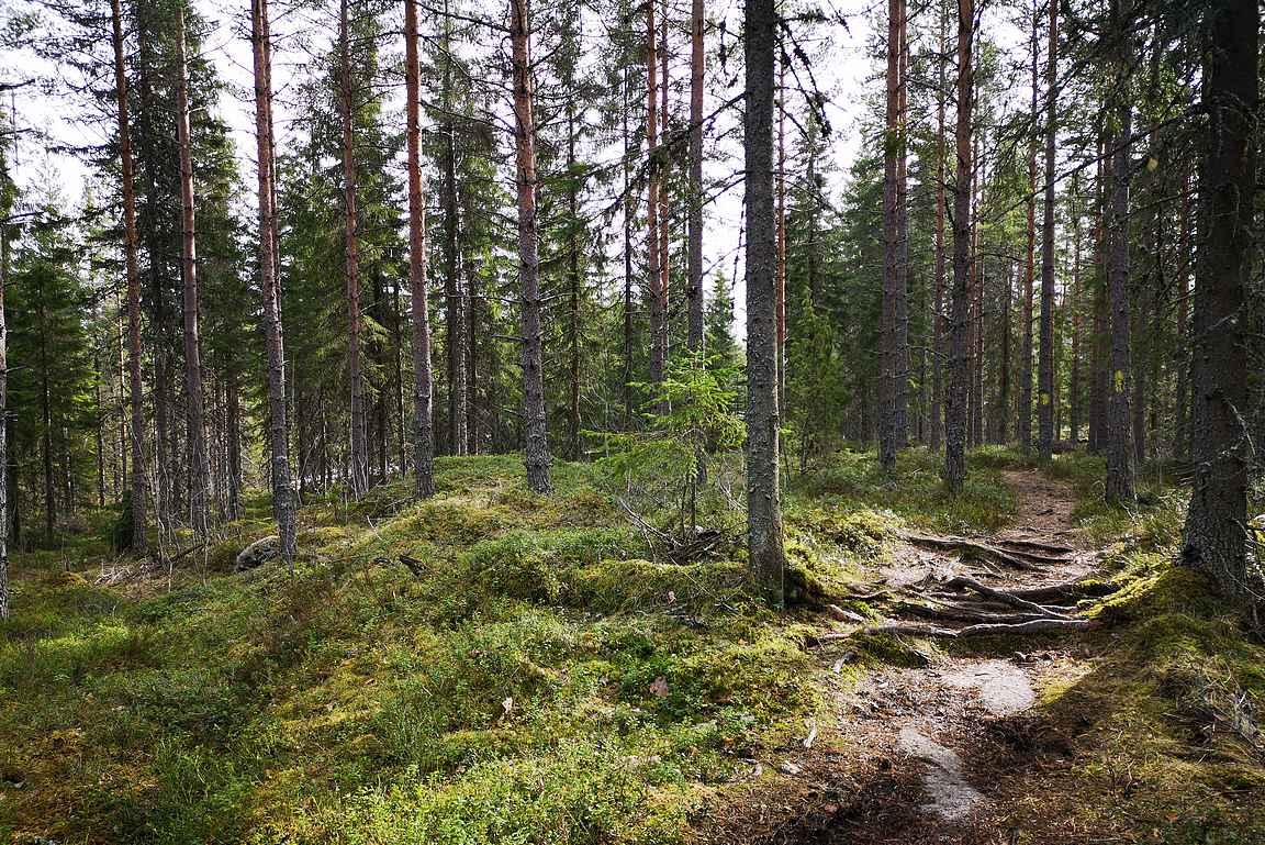 Parkkipaikan jälkeen myötäpäivään kiertäessä alkaa leppoisa metsäosuus Iso-Vuorijärven kalliorantaan saakka.