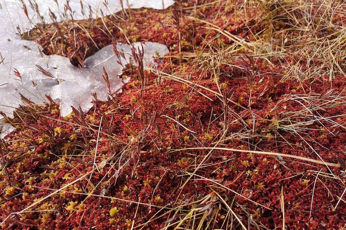 Punertavaa suomaastoa pilkotti jään alta esiin Kirvesjärven rannassa.