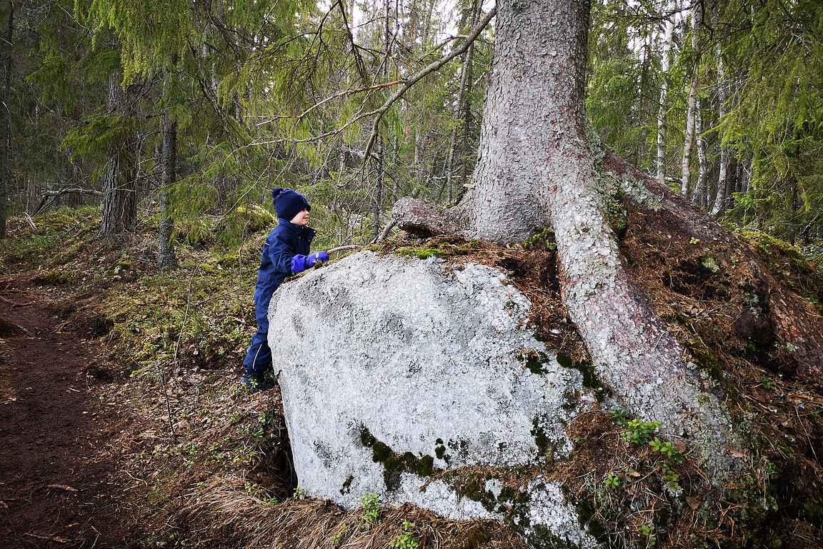 Ison kiven päälle kasvanut suuri puu herätti ihmetystä.