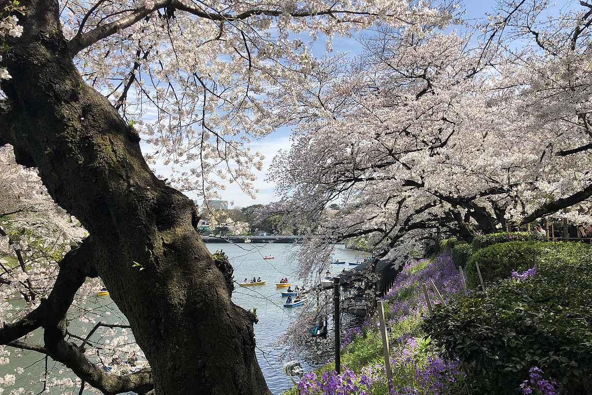 Chidorigafughi puisto on yksi upeimpia paikkoja kirsikankukkien katseluun Tokiossa.