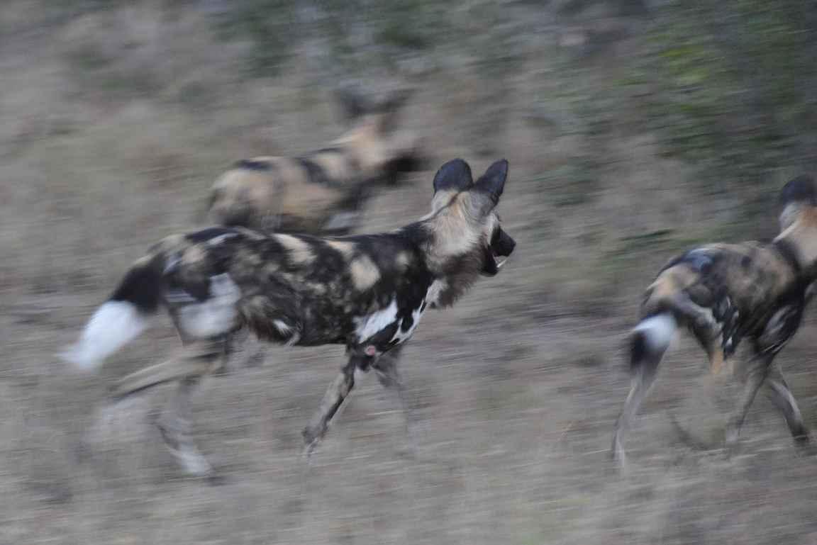 Savannikoirien metsästyksen seuraaminen on hurjaa puuhaa.