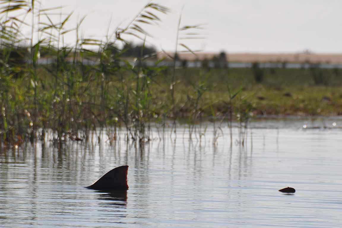 Tämä hai parantali krokotiilin kanssa tappelun jäljiltä haavojaan rantakaislikossa.