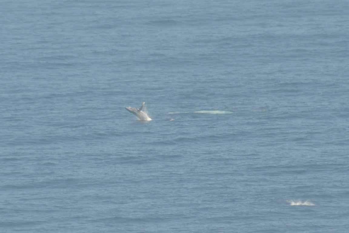 Onhan se huikeaa nähdä ryhävalaiden hyppivän rannikolla. Ääni oli yhtä kova muutaman sadan metrin päästä kuultuna kuin joku olisi ajanut mossella autotallin oven läpi,