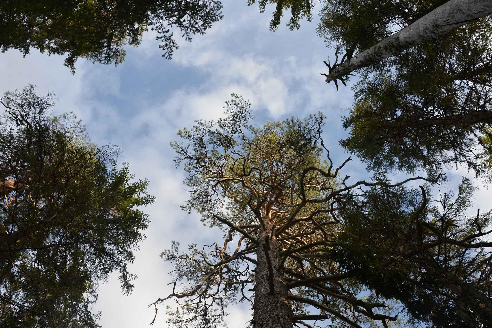 Ikihongat huojuvat korkeuksissa Pyhä-Häkin kansallispuistossa.