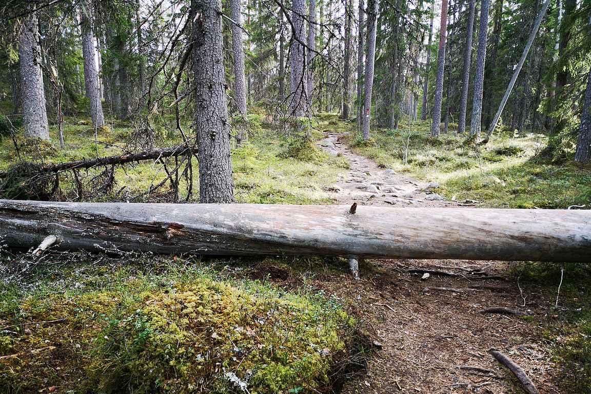Välillä Kotajärven reitillä vastaan tuli kaatuneita tai kaadettuja ikihonkia.