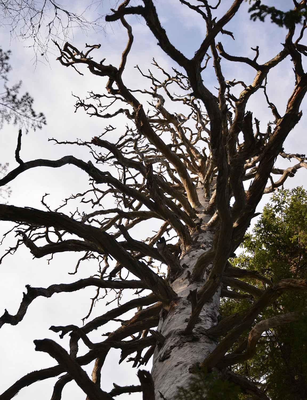 Iso puu ja sen paksut korkealla olevat oksat.