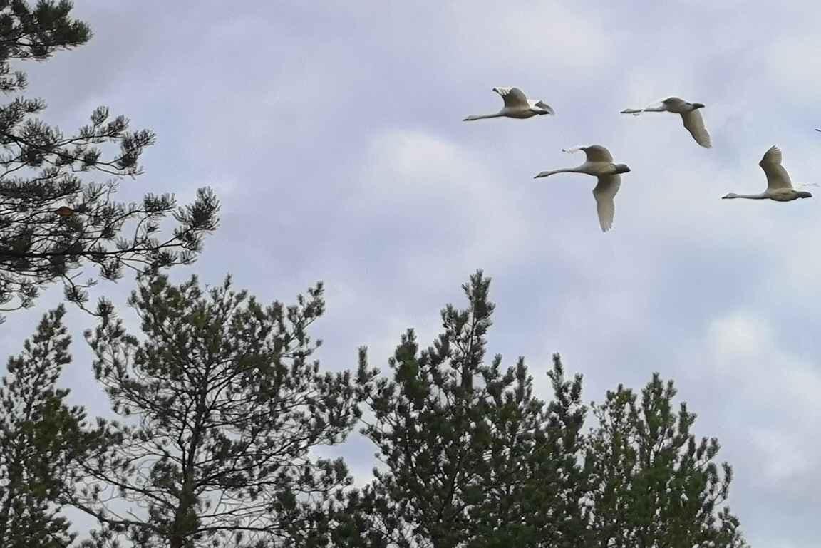 Lukuisat joutsenet lensivät aivan pään yläpuolelta useaan otteeseen.
