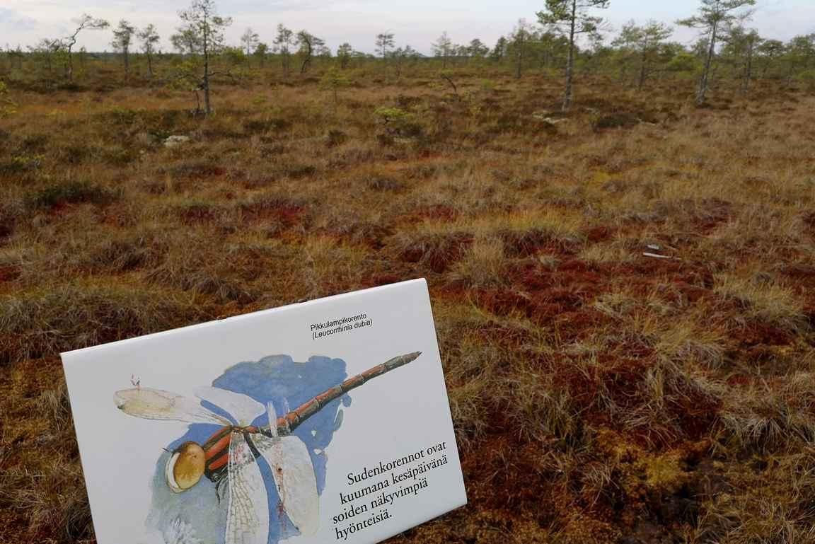 Opastauluissa kerrotaan suon asukeista, joista sudenkorentoja näimmekin lukuisia pitkin matkaa.