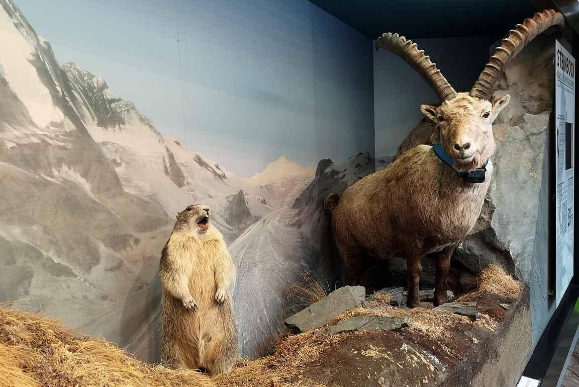 Murmeleita ja alppikauriita ei näkynyt kuin pienessä alueesta kertovassa näyttelyssä.