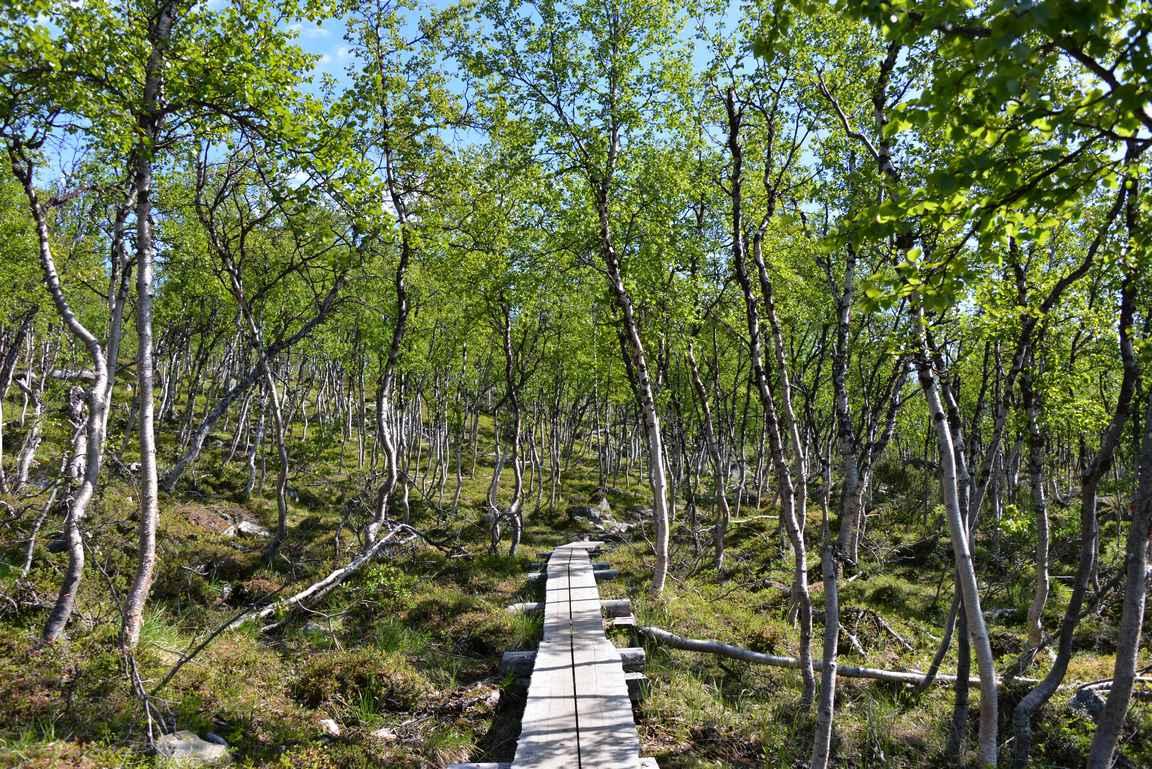 Pitkospuut tunturikoivikon keskellä muistuttaa siitä, että alkukesästä maasto on varsin kosteaa.